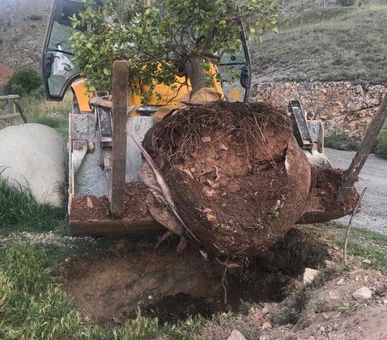 Transplantado un aligustre desde Mularroya a Morata